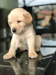 Labrador pedigree e microchip opcional