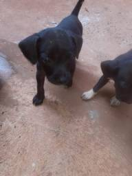 Doa se dois cachorrinhos machos sobro dois machinhos