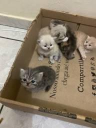 Filhotes de gato persa, irá fazer 1 mês dia 27.11.2020!
