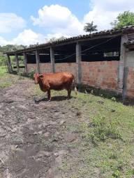 Vendo uma vaca, *.