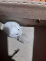 Hamster Anão russo chinês