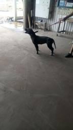 Título do anúncio: Vendo femea de pitbull APBT tradicional