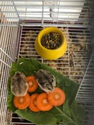 Título do anúncio: Hamster Anão Russo