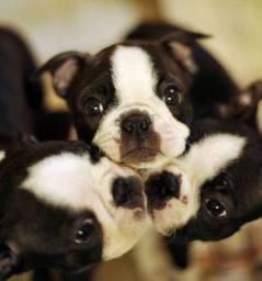 Título do anúncio: Boston Terrier Machos e Femeas disponiveis