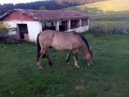 Troco cavalo Crioulo registrado por vacas de cria