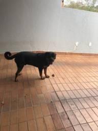 Vendo Cachorro Rottweiler com Pedigree