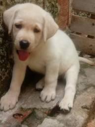 Labrador pura linda fêmea com cinquenta e seis dias