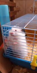 Hamster sírio branco