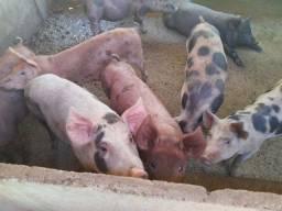 Porcos caipira.