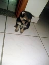 Lulu da Pomerânia