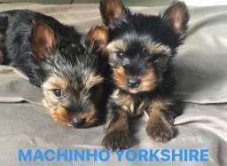 Yorkshire filhote