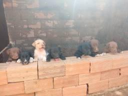 Filhotes de labrador com husky