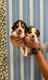 Beagle Mini aceito cartão parcelo