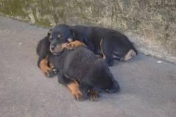 Filhotes Rottweiler Puro