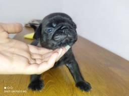 Pug macho ( preto e Abricó )