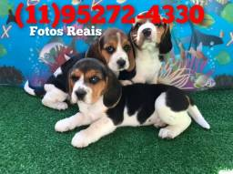 Título do anúncio: (fotos reais) Filhotes de Beagle!!!