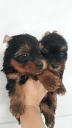 Título do anúncio: Filhotes yorkshire fêmea e macho