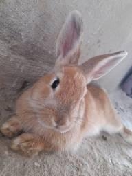 Título do anúncio: Vendo um mini coelho 6 messes