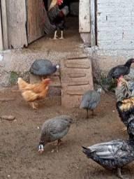 Venda angolas e patos