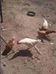 Título do anúncio: 4 franga poedeira e dois frangos brancos