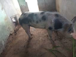 Título do anúncio: Vendas de porcos