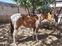 Título do anúncio:  égua Paint horse