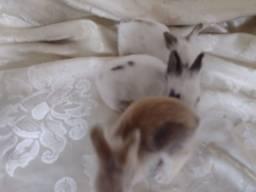 Título do anúncio: Mini coelho Lion e hermelin