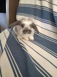 Filhotes coelhos da raça mini loop