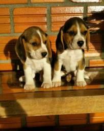 Filhotes de Beagle a pronta entrega machos e fêmeas