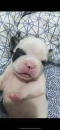 Filhote de Bulldog Francês macho