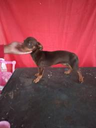 Vende-se pinscher chocolate macho