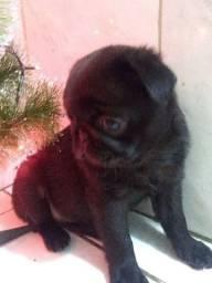 Filhote de Pug Fêmea