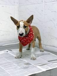 Bull Terrier Inglês alto padrão CBKC, com suporte veterinário gratuito 24hrs