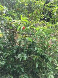 dividir casinha com quintal pé de fruta