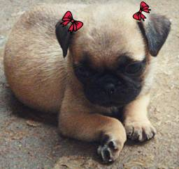 Última Pug Fêmea .