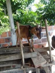 Cabra leiteira