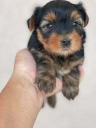 Yorkshire terrier macho e Fêmea ja com microchip