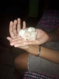 Rato Twist Dumbo doméstico