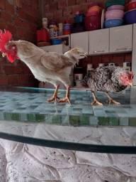 Título do anúncio: Estou vendendo um casal de galinha garnizé