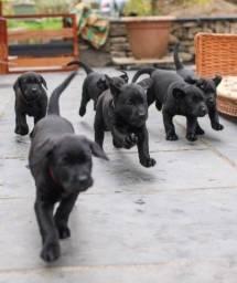 Labradores machos e fêmeas disponíveis!
