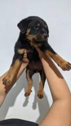 Título do anúncio: Cachorro Rottweiler fêmea