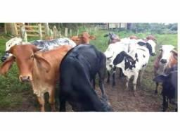 35 vacas aneloradas