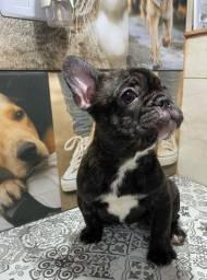 Bulldog Francês menino disponível para entrega!