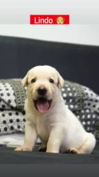 Labradores de ótima linhagem ?