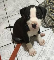 Título do anúncio: Filhote de pitbull linda