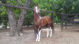 Vendo ou troco garanhão paint horse registrado filho de importado (três tambores )