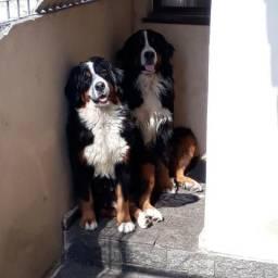 Bernese Mountain Dog Lindos Filhotes - Pedigree CBKC