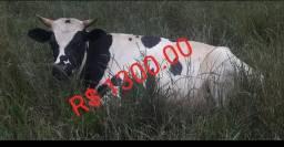 Boi + vaca da raça holandesa