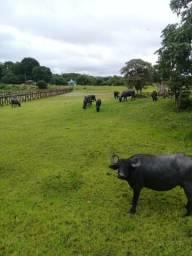 17 cabeças de Búfalo da raça Murra