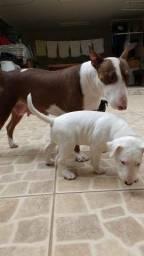 Bull terrier 2 meses